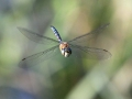 Highly Commended - Norman Wyatt - Migrant Hawker