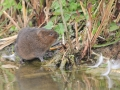Highly Commended - Norman Wyatt - Water Vole