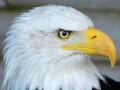 Students 2nd Prize - Thomas Payne - Sam the Bald Eagle