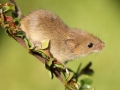 Public Choice 1st Prize - Roy Aldous - Harvest Mouse