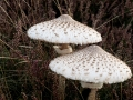 Highly Commended - Perfect Parasols, Bernard Webb