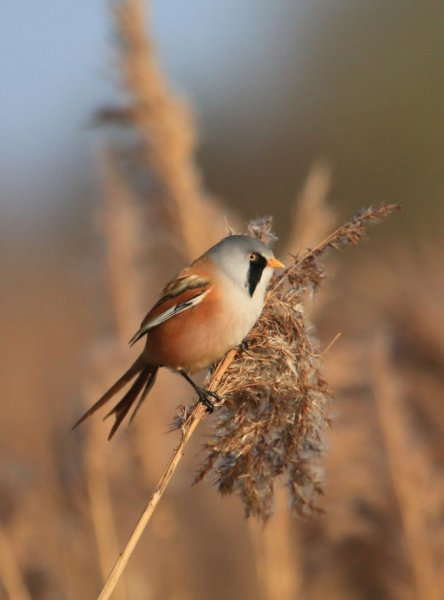 1st Place - Bearded Tit - Norman Wyatt
