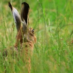 Public Choice 2nd Place - Hares Looking At You – Norman Wyatt
