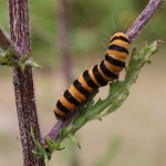 U18's Highly Commended - Cinnabar Moth Caterpillar – Becky Orland