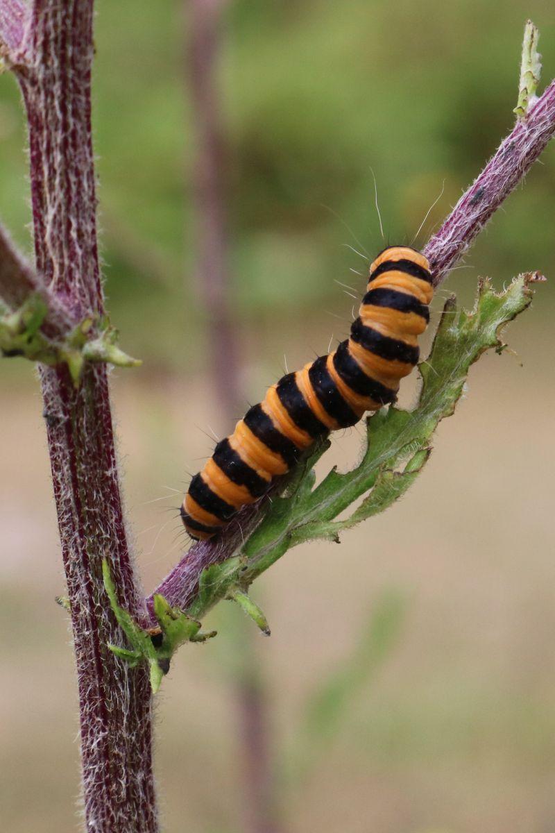 U18's Highly Commended - Cinnabar Moth Caterpillar – Becky Orland