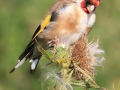 3rd Place - Goldfinch - Norman Wyatt