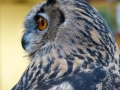Commended Eagle Owl - Tricia Gunson